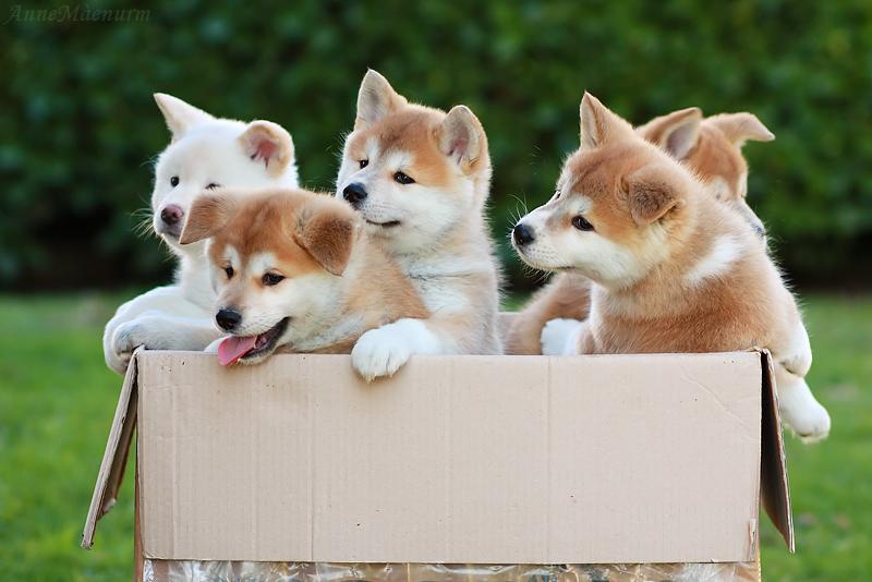 собаки акита ину цена