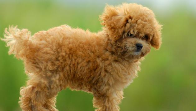 Пудель порода собак