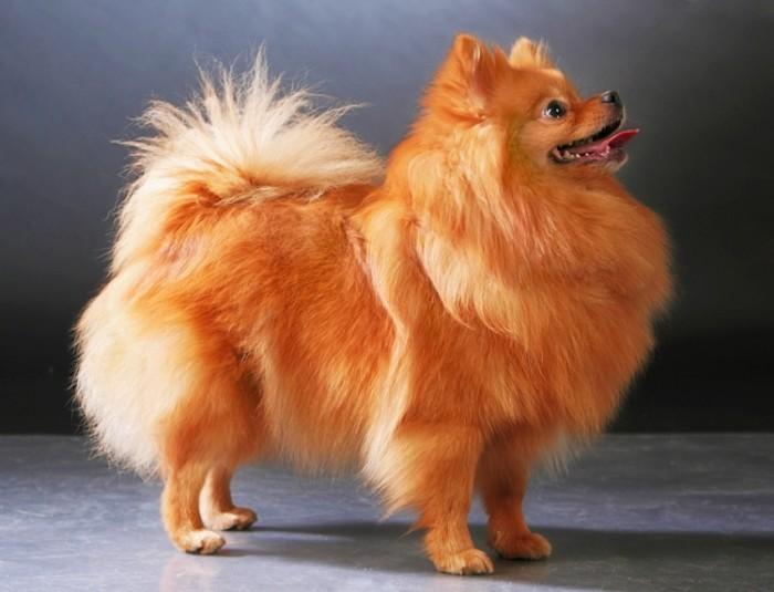 померанский шпиц порода собак