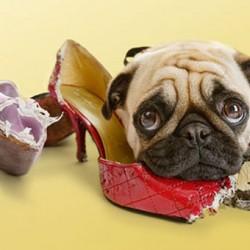 Как отучить собаку или щенка грызть вещи дома?