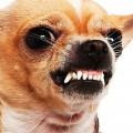 агрессивные породы собак