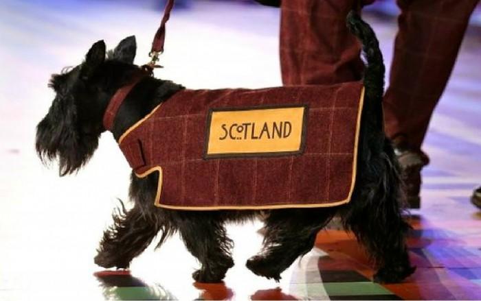 Шотландский терьер порода собак