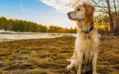 Золотистый ретривер порода собак