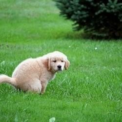 Как научить щенка ходить в туалет на улице?