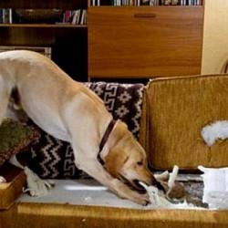 Как отучить щенка грызть мебель?