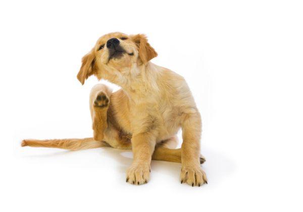 Собака и блохи