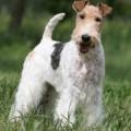 Фокстерьер порода собак