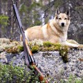 Как приучить охотничью собаку к выстрелам?