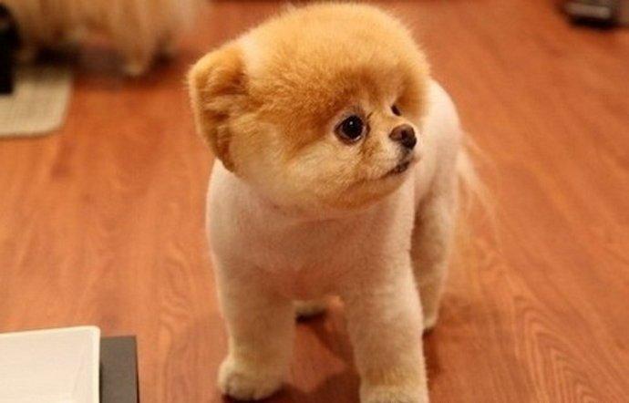Той пудель порода собак