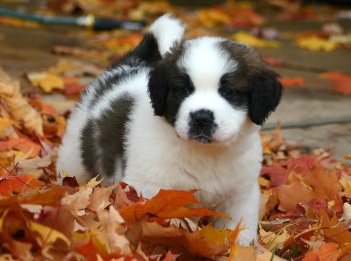 Сенбернар порода собак