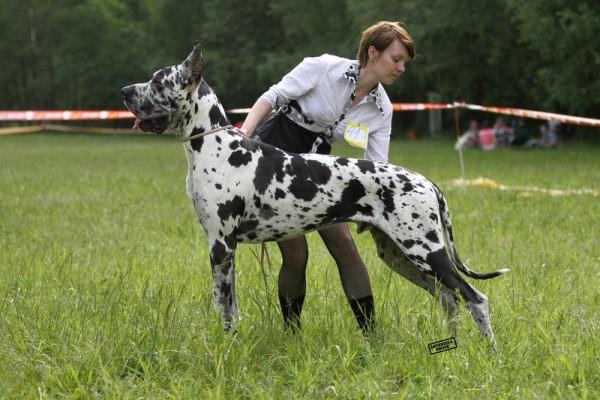 Немецкий дог порода собак