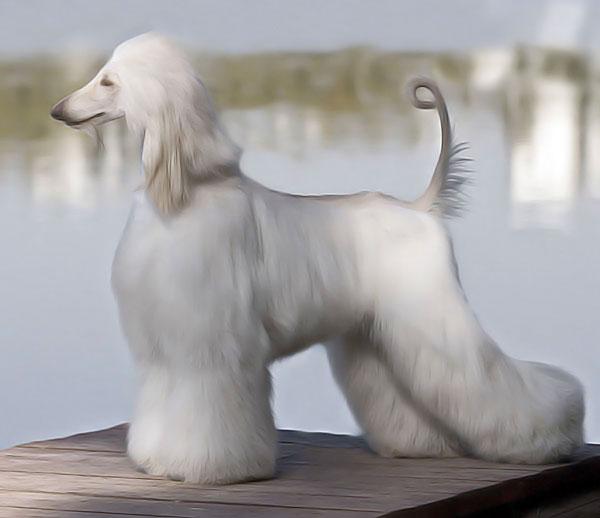 Афганская борзая собака