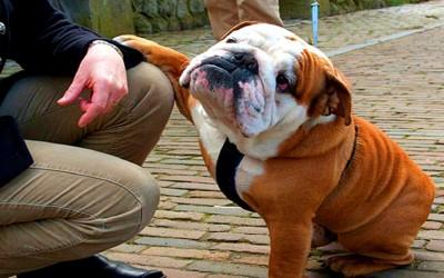 Английский будьдог порода собак