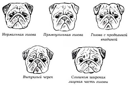Мопс порода собак