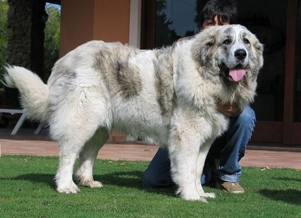 Пиренейский мастиф порода собак