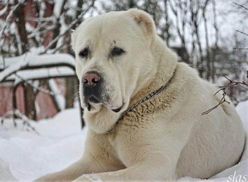 Алабай порода собак