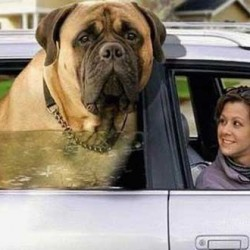 Английский мастиф порода собак