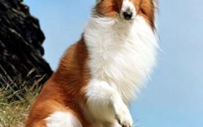 Колли порода собак
