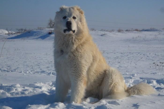 Кавказская овчарка порода собак