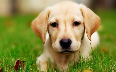 Лабрадор-Ретривер порода собак