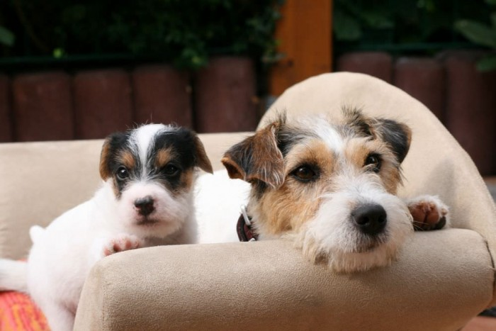 Парсон Рассел терьер порода собак