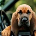 бладхаунд порода собак
