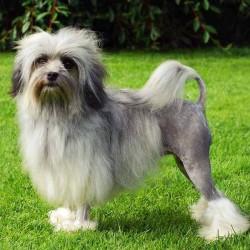 Лион бишон порода собак