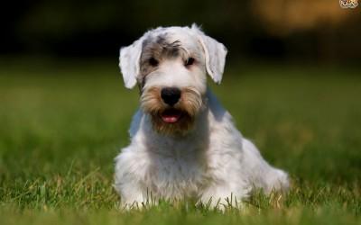 Силихем-терьер порода собак