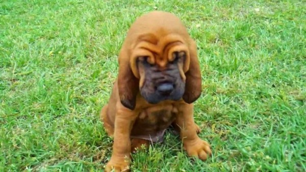 Порода собак бладхаунд
