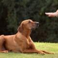 Как научить собаку выдержке