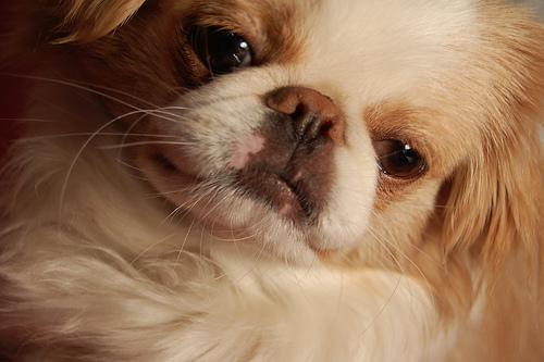 Японский хин порода собак