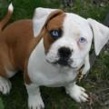 Американский бульдог порода собак