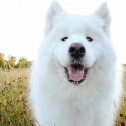 Самоед порода собак