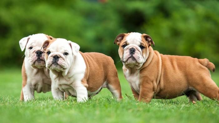 Английский бульдог порода собак