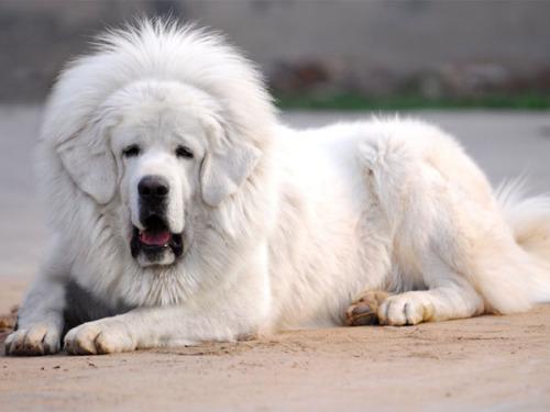 Тибетский мастифф порода собак