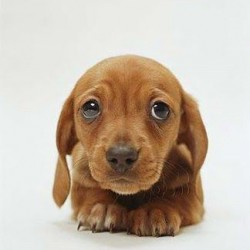 Миниатюрная такса порода собак