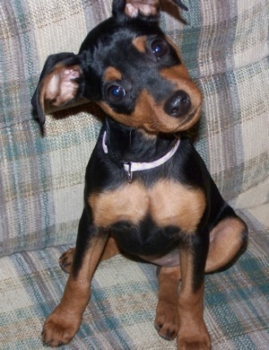 Доберман порода собак