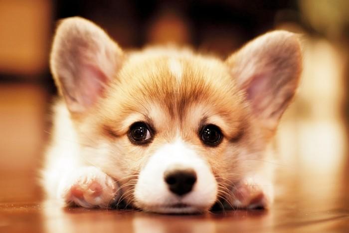 Вельш-корги порода собак