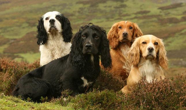 Английский кокер-спаниель порода собак