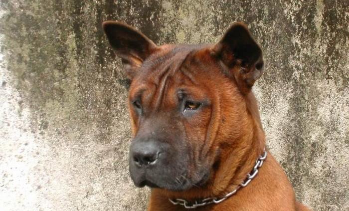 Чунцин порода собак