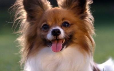 Папильон порода собак