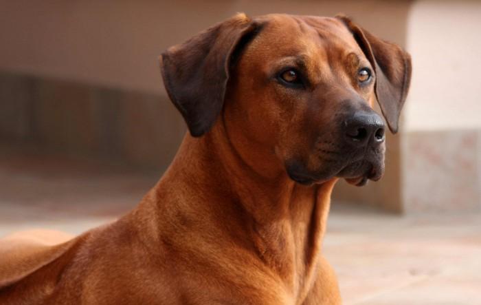 Родезийский риджбек порода собак