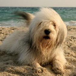 Одис порода собак