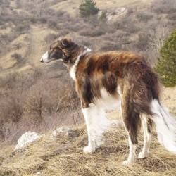 Русская борзая порода собак