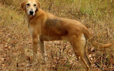 Русская гончая порода собак