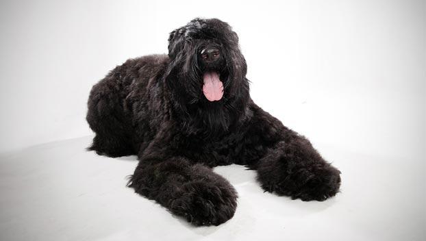 Черный русский терьер порода собак