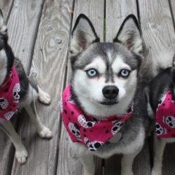 Аляскинский Кли-Кай порода собак