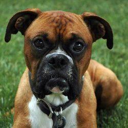 немецкий боксер порода собак