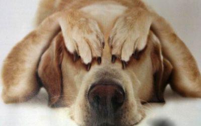 пугливая собака
