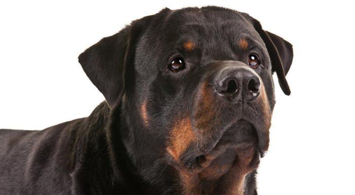 Ротвейлер порода собак